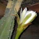 Logo da emissora Web Rádio Flor do Mandacarú